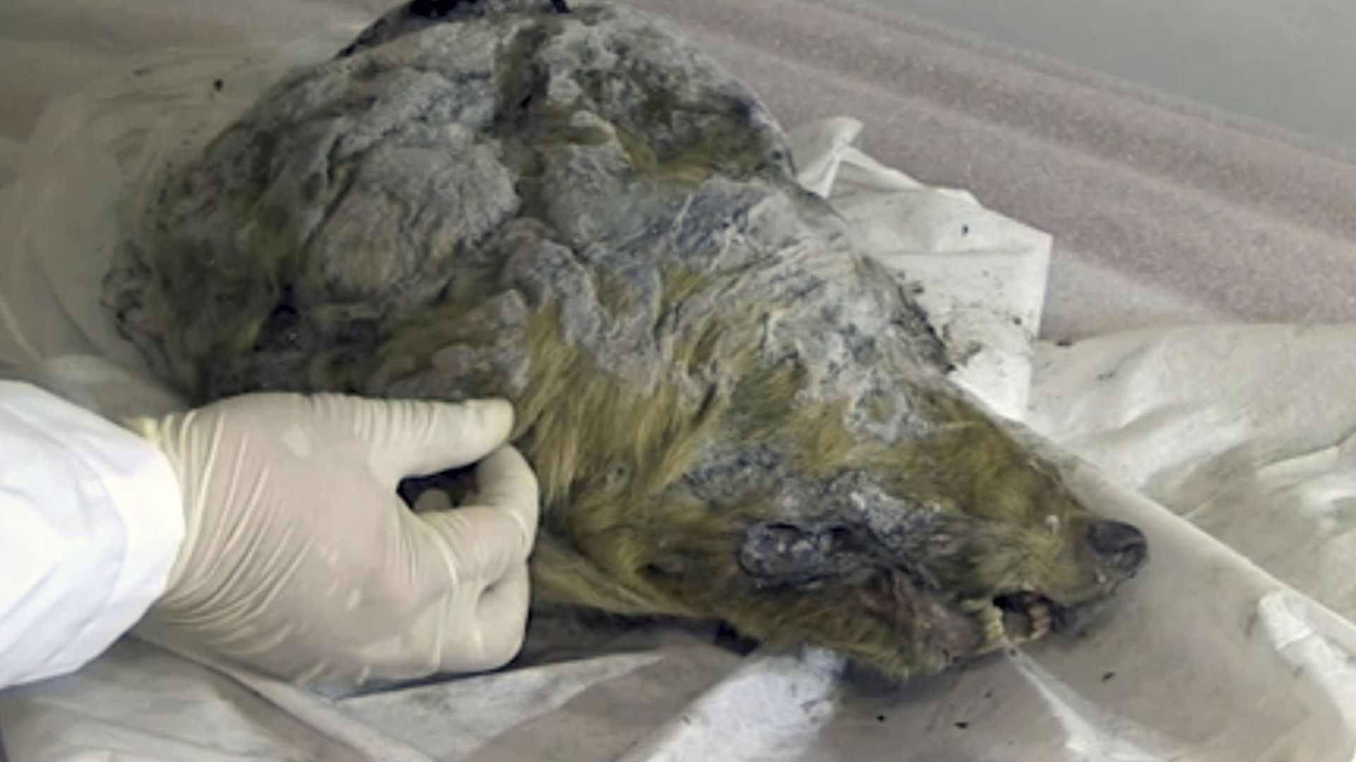Идеално запазена глава на вълк на 40 000 г. бе открита в Сибир (видео+снимки)