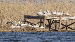"""Малките пеликанчета в """"Сребърна"""" вече ловят риба"""