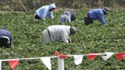 Бране на ягоди в кризата с коронавируса: обратно в Италия за 8 евро на час