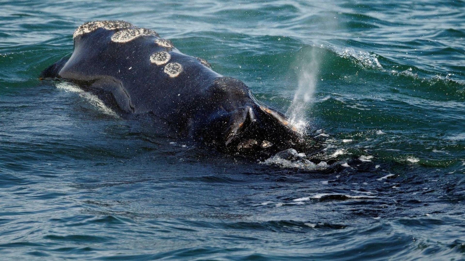 """Учени """"претеглят"""" китове с помощта на дронове"""