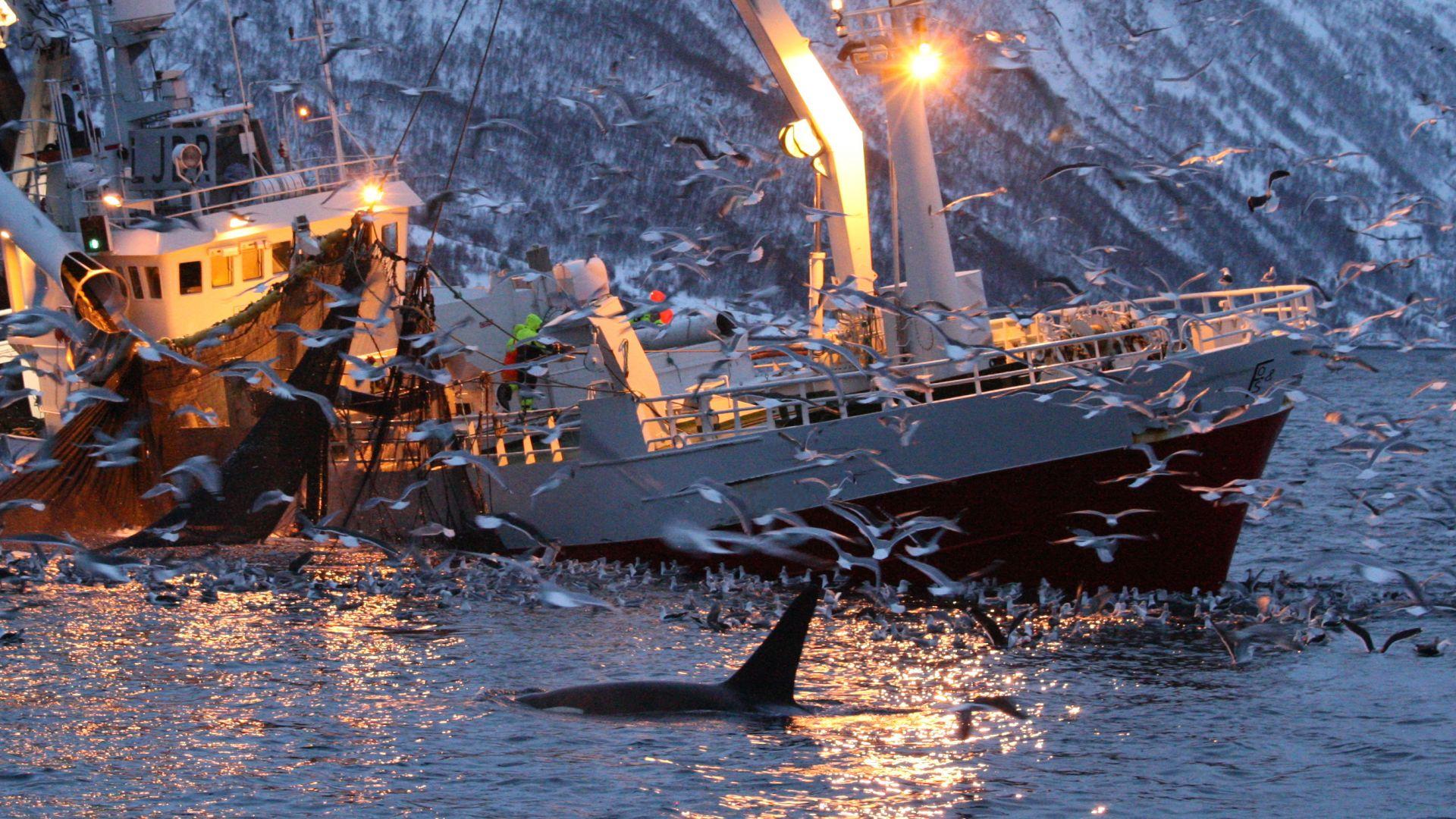 Японци тръгнаха на лов за китове след падането на 33-годишна забрана (видео)