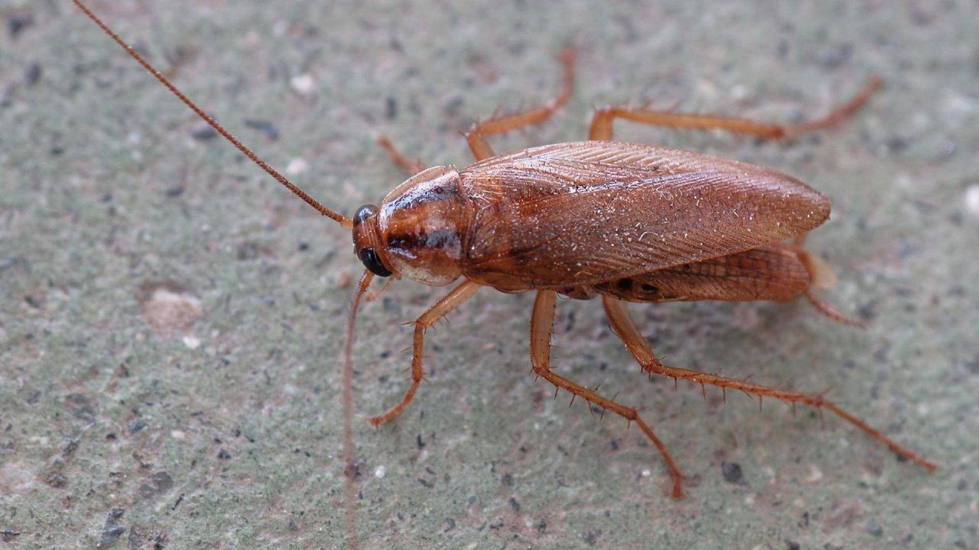 Хлебарките еволюират в посока към неунищожимост