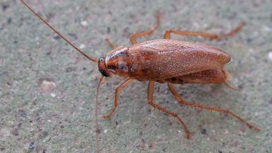 Хлебарки-киборги могат да търсят хора под развалини