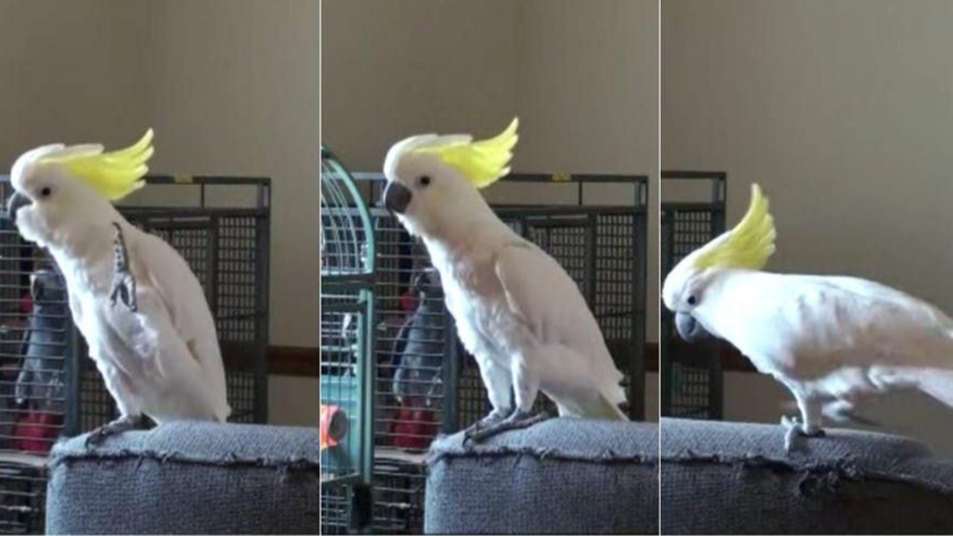 И папагалите умеят да танцуват