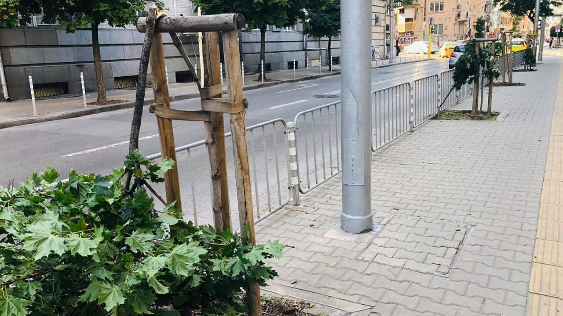 Хулигани са унищожили няколко млади дръвчета в самия център на