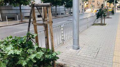Вандали прекършиха млади дръвчета в центъра на София