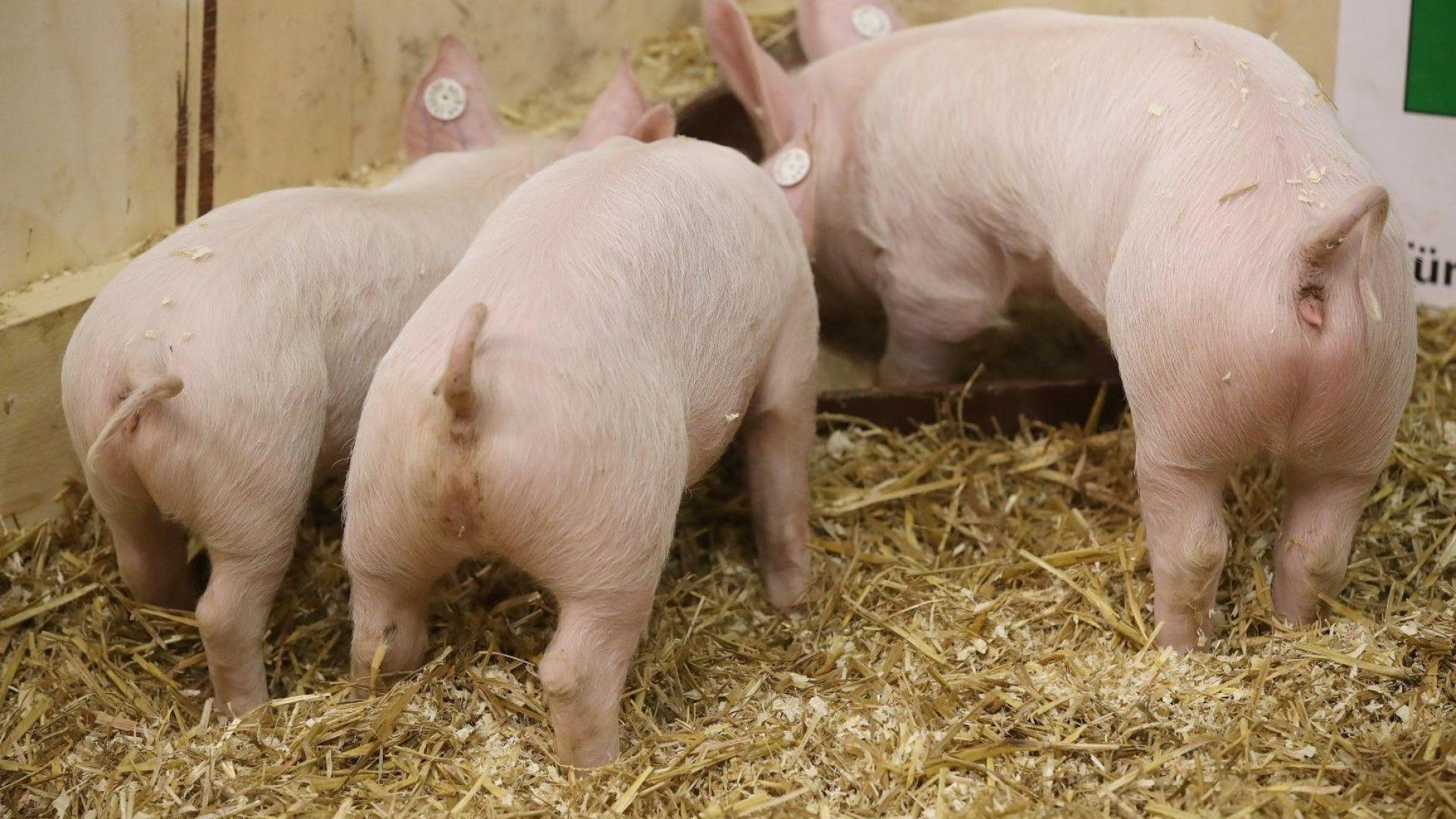 Заради чумата: До 10 дни трябва да бъдат изклани всички домаши прасета в Русенско