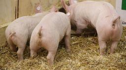 Държавата дава над 2 млн. обезщетение за умъртвените прасета в Николово