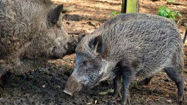 Софийският зоопарк: Взехме всички мерки да защитим дивите свине от африканска чума
