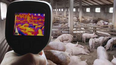Африканската чума по свинете: Заплаха с дъх на кебапчета