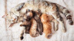 Мит е, че котката трябва да роди поне веднъж, преди да бъде кастрирана