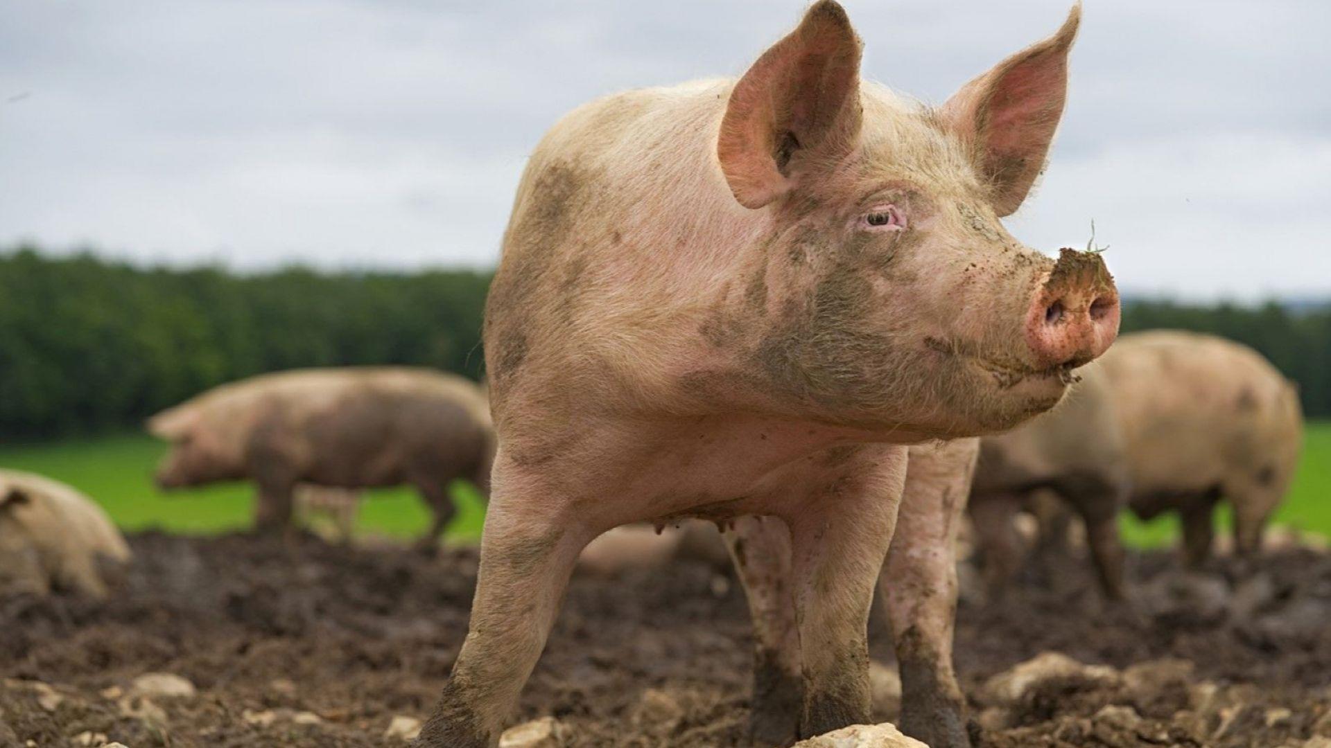 Африканска чума по свинете регистрираха и във Великотърновско
