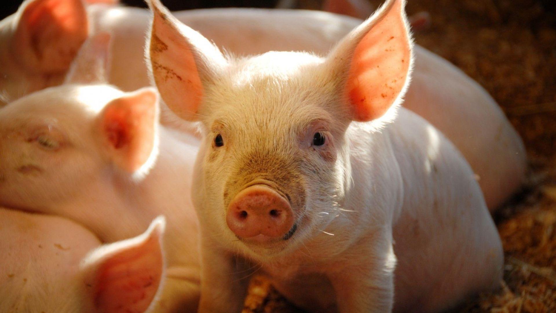 БАБХ потвърди нови огнища на африканска чума при домашни свине в областите Плевен и Велико  Търново
