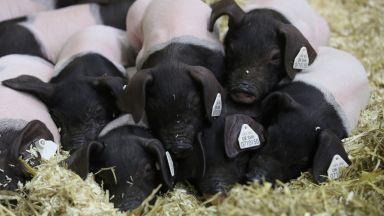 В Русе избиват домашните прасета в 3-километровата зона