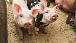 """Бизнесът поиска тотална забрана за прасета в """"задния двор"""""""