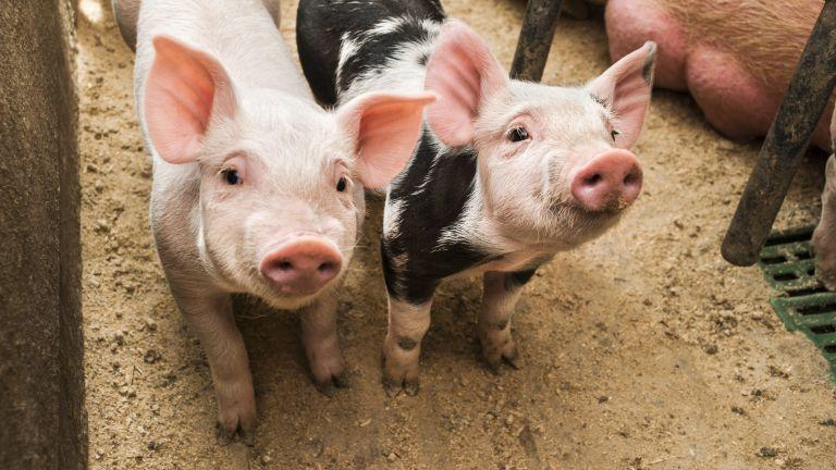 Откриха африканска чума в голям свинекомплекс край Русе