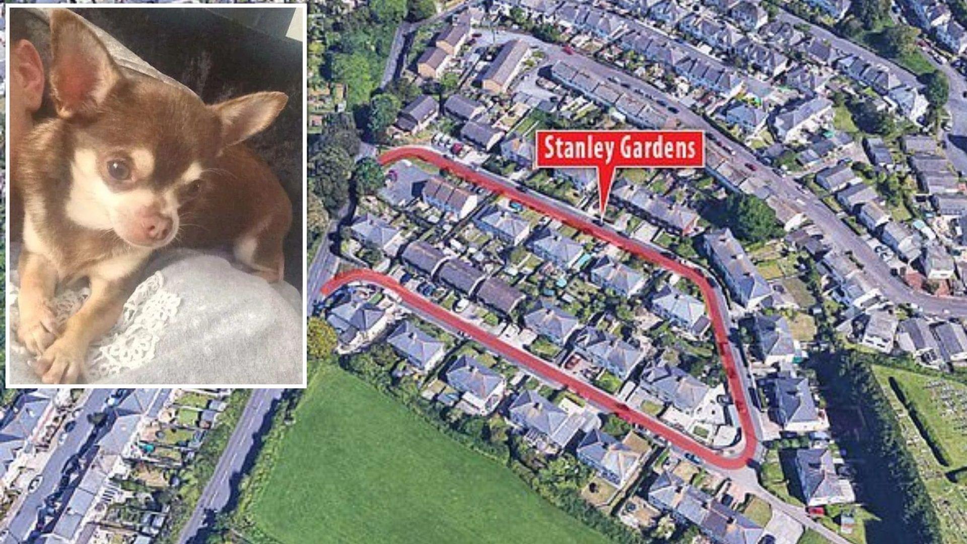 Чайка открадна кученце чихуахуа от двора на стопаните му