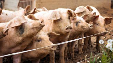 Шефът на БАБХ за чумата по свинете: Има риск дори от опаковката на заразеното месо