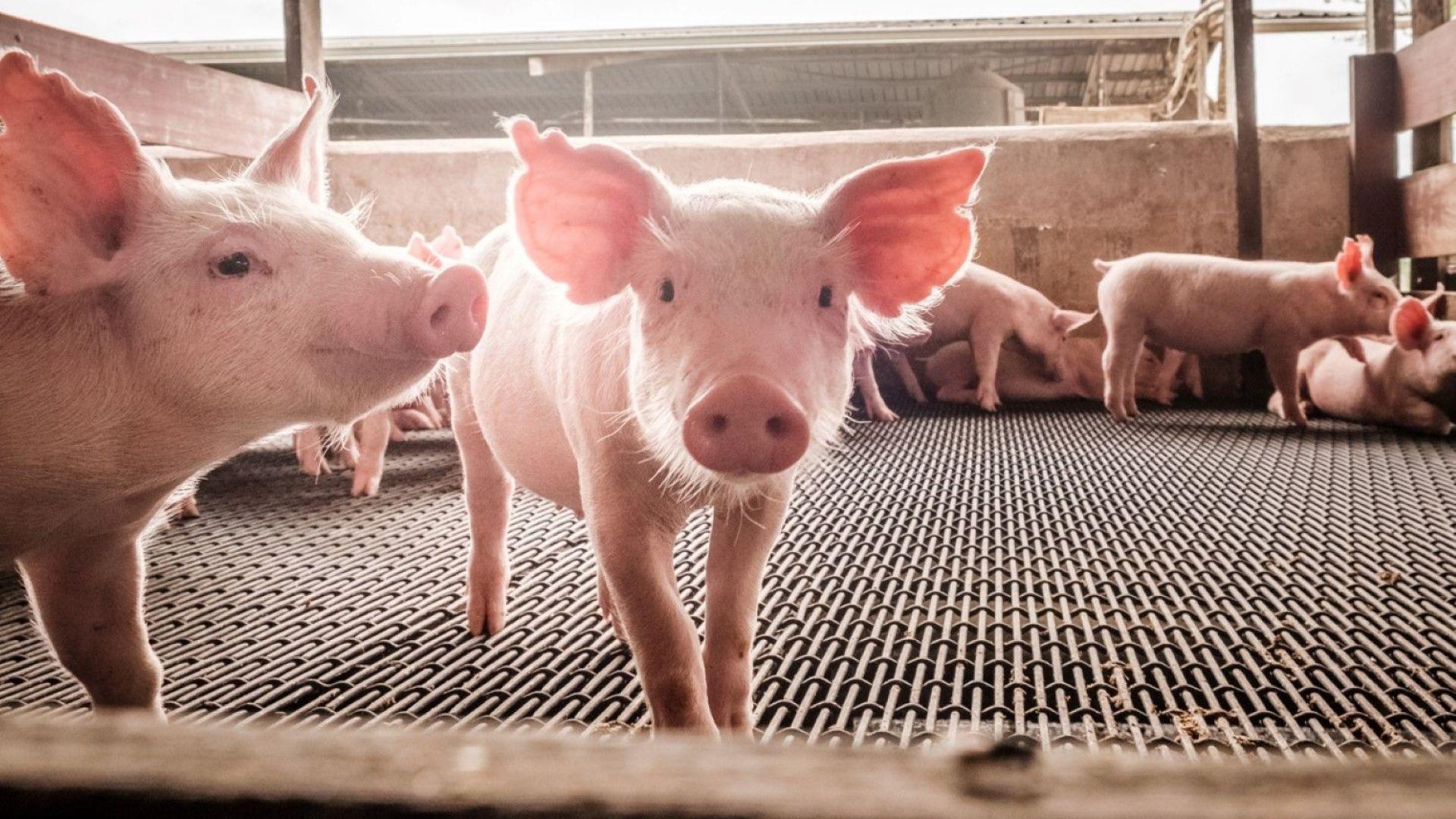 Трета индустриална ферма е засегната от Африканска чума по свинете