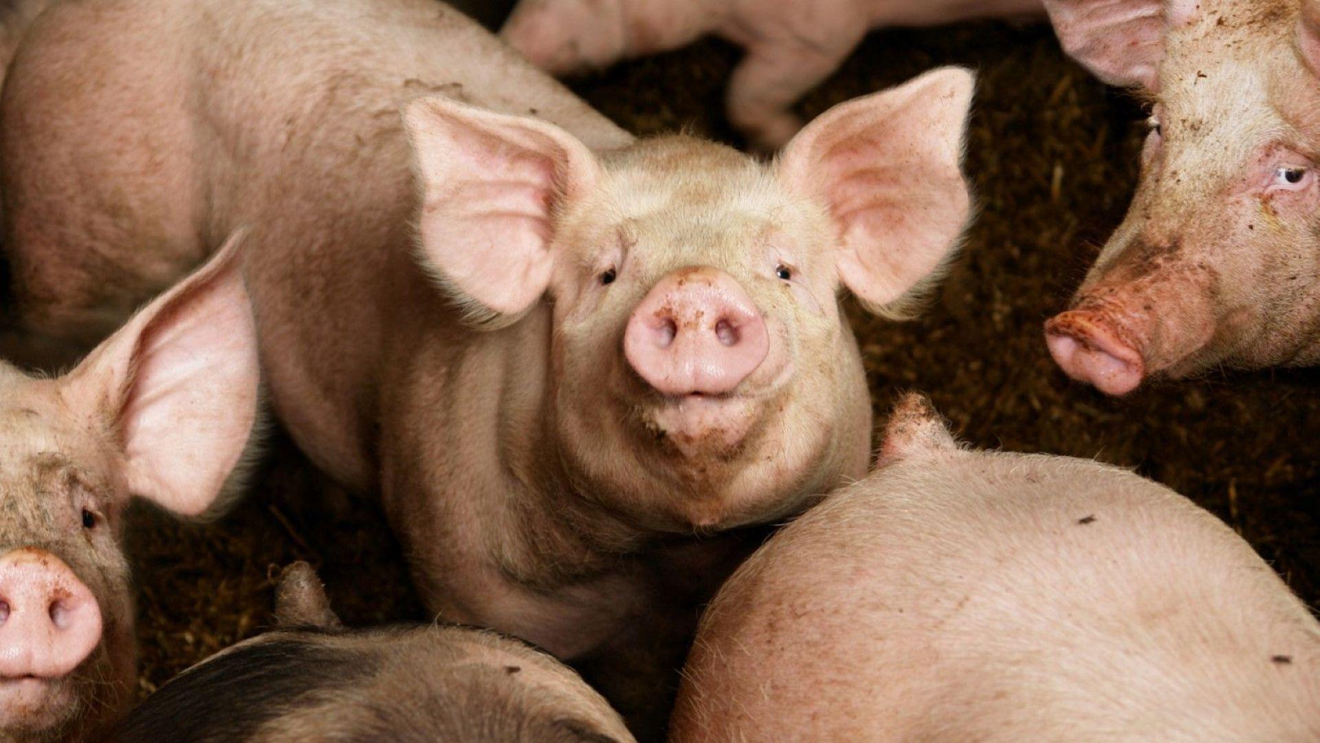 Китай може да загуби половината от прасетата си заради африканската чума