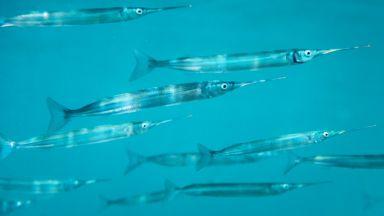 Зарганът може да се окаже ключът към регенерирането на крайници при хората