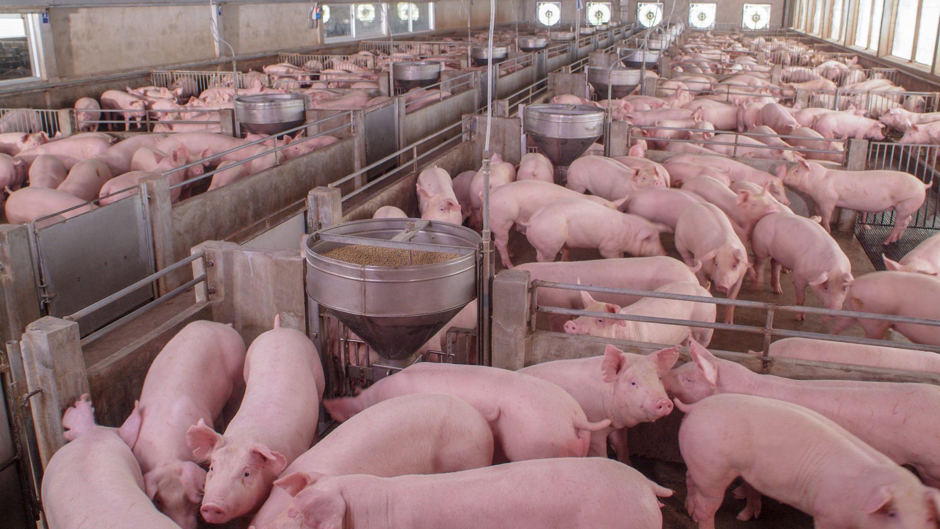 И ферма със 17 хил. свине стана жертва на африканска чума