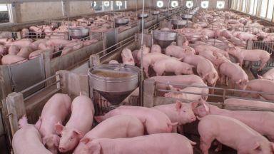 Откриха африканска чума в голям свинекомплекс във Варненско
