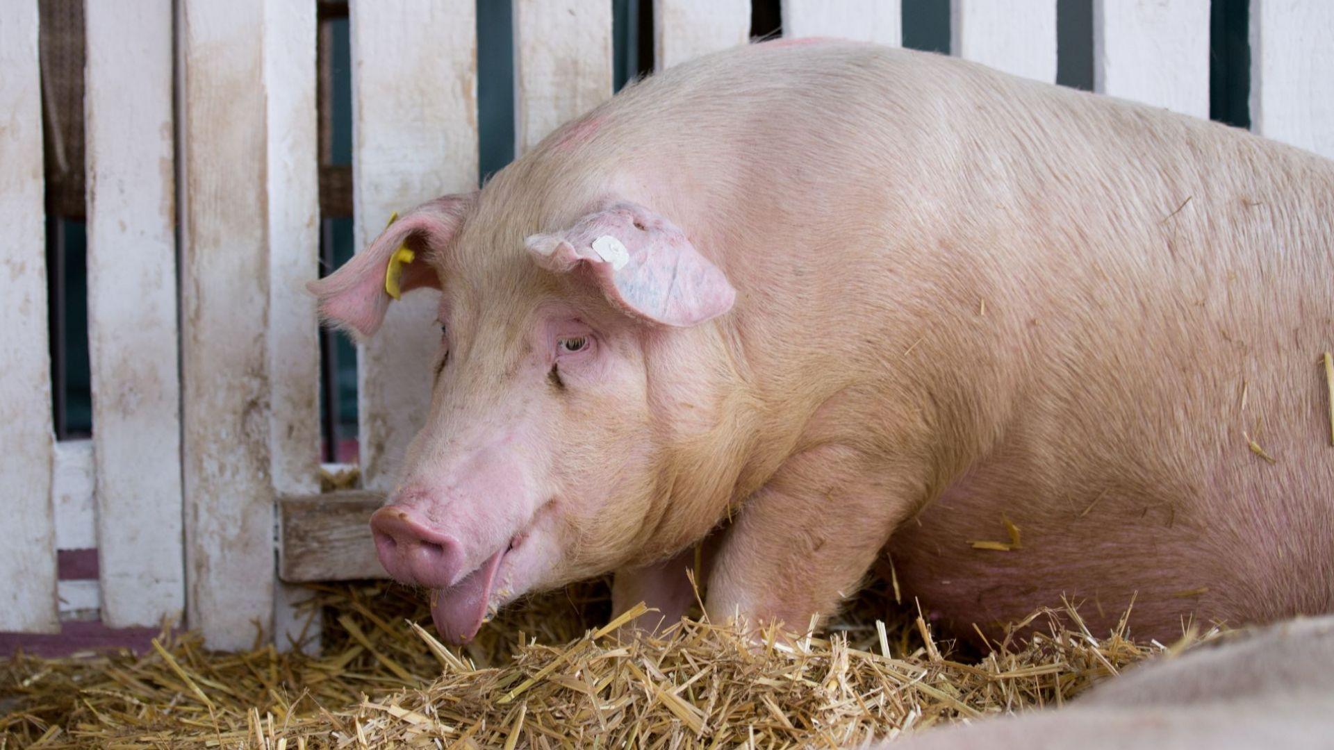 Последен ден за доброволно умъртвяване на домашните прасета от Южна България