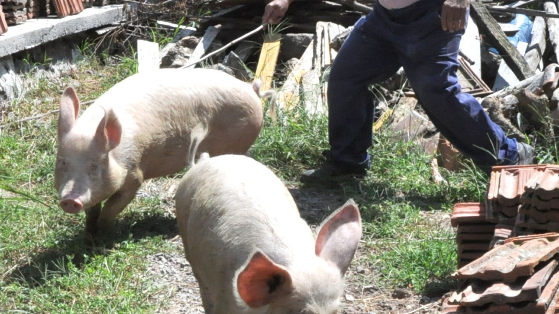 """ЕК обяви, че положението с африканската чума по свинете в България е """"много тревожно"""""""