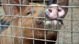 Започва умъртвяването на близо 40 000 прасета в село Брестак