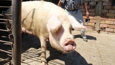 Африканската чума по свинете стигна и София