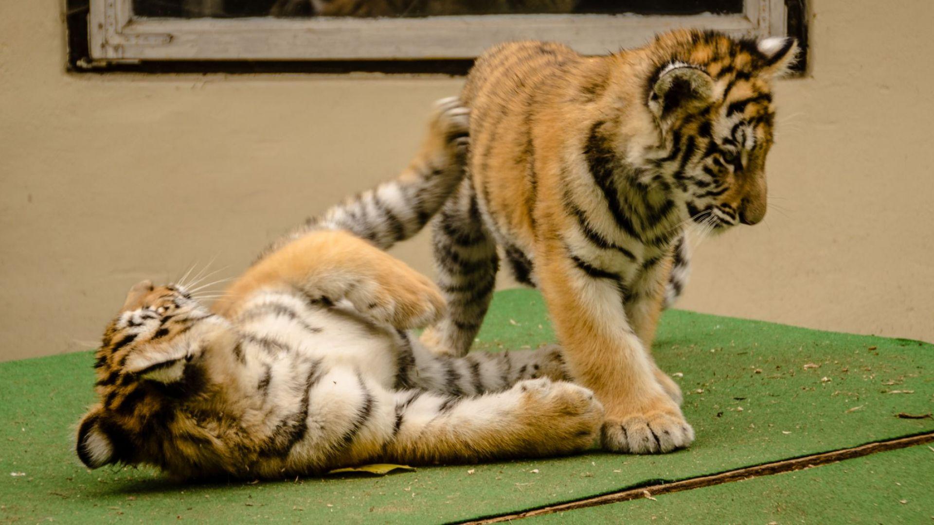 Снимка: Австрийската полиция откри две бебета тигри във ваната на апартамент