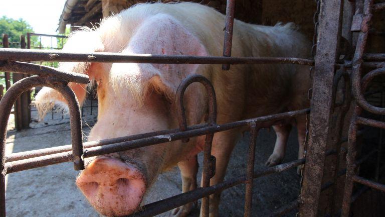 Кой да контролира загробването на закланите заради АЧС прасета?