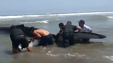 Доброволци в Перу избутаха заседнал в сушата 6-тонен кит