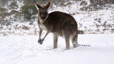 Сняг в Австралия изненада стадо кенгурута (видео)