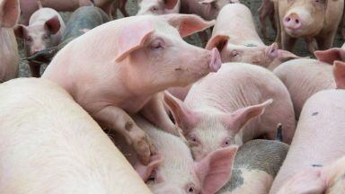 Ново огнище на Африканска чума в свинекомплекс