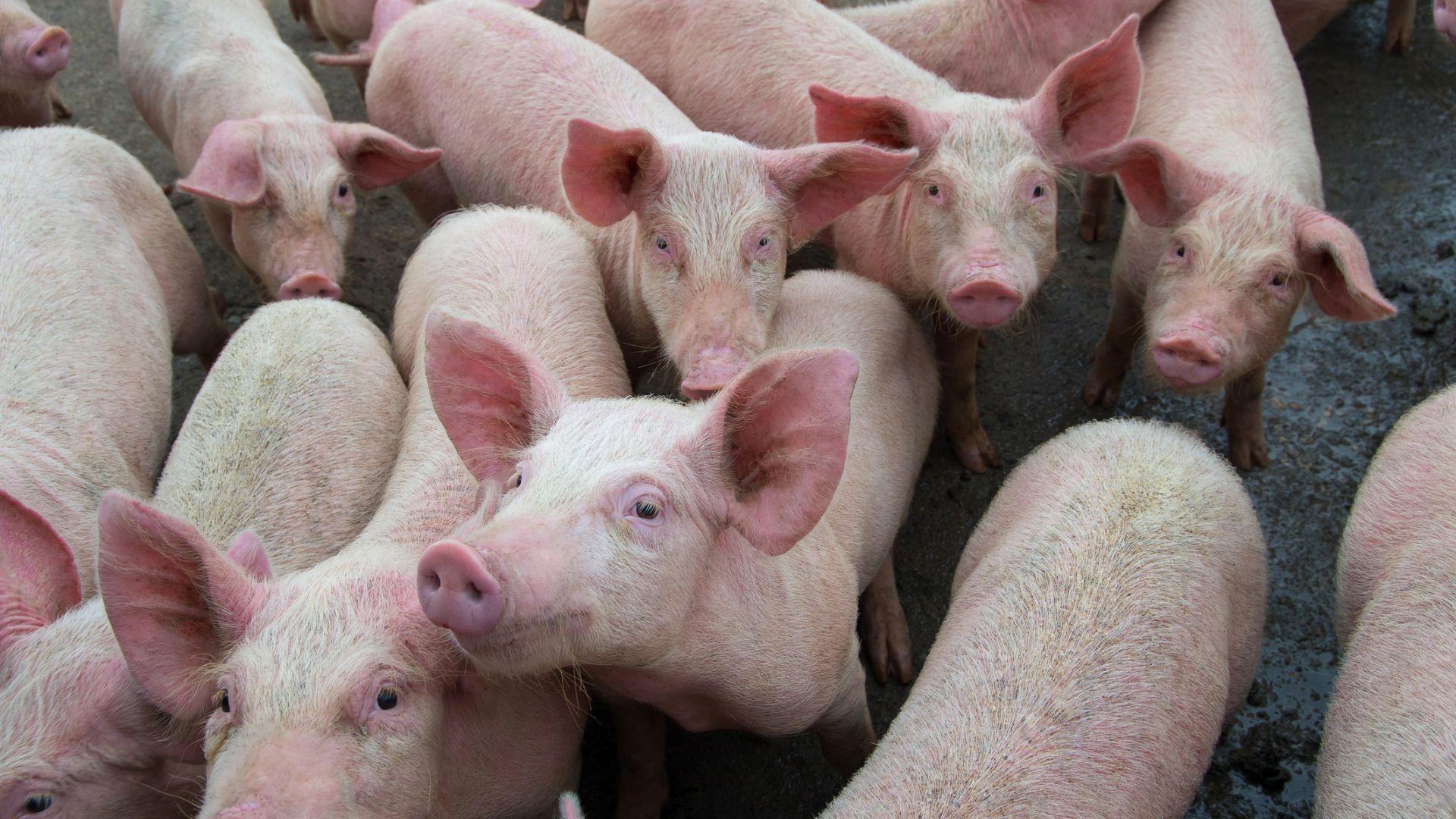 Южна Корея умъртвява хиляди прасета заради африканската чума