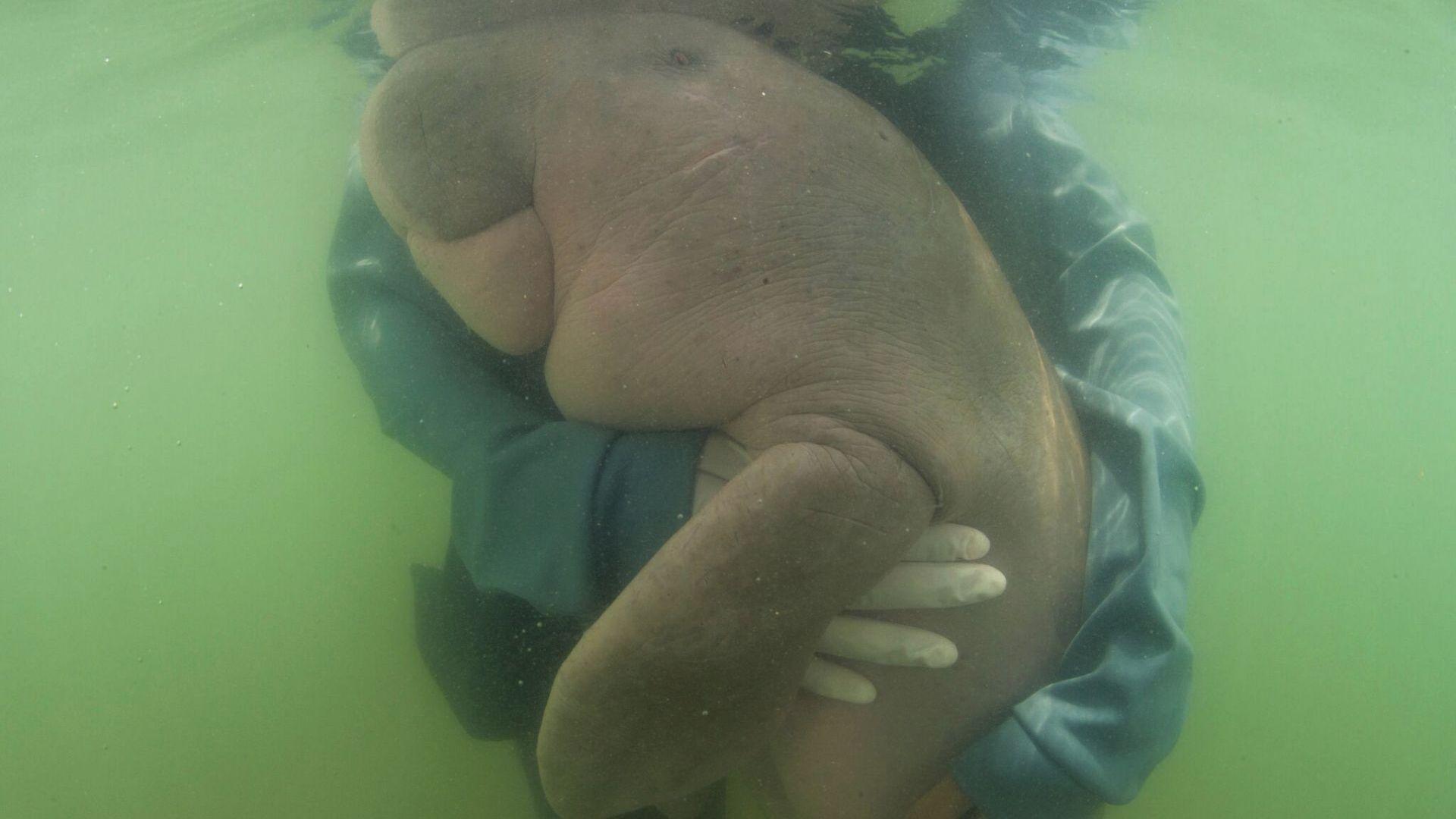 Снимка: Почина спасено бебе дюгон, погълнало пластмаси