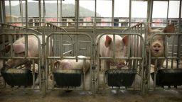 Рекордни печалби за свиневъдите в Китай, опазили прасетата си от чумата