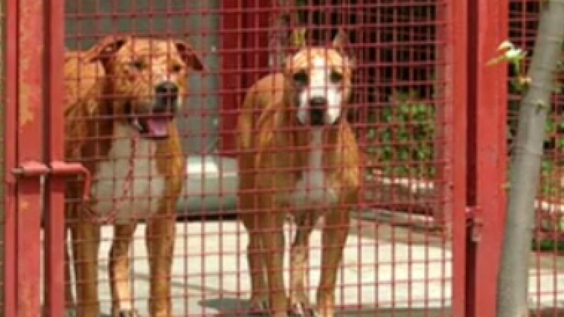 3 години близо 40 кучета, порода питбул, тренирани за боеве,