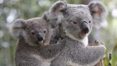 Хранят коалите в Австралия с капсули... с фекалии