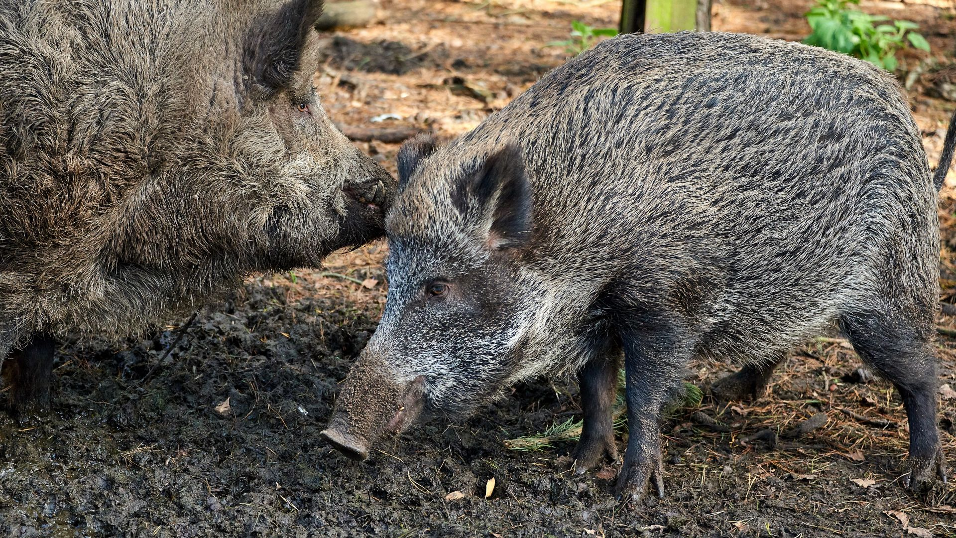 Расте броят на огнищата с африканска чума по дивите свине