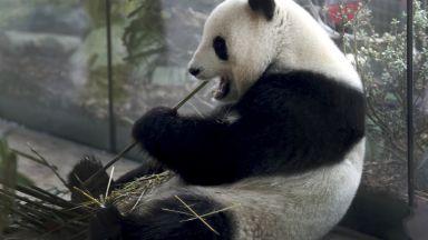 Берлинският зоопарк показа ултразвуково изображение на бебето на пандата Мън Мън