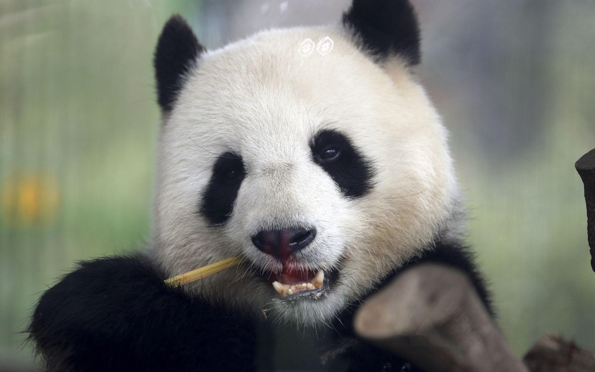 Мън Мън, която очаква бебето си, има добър апетит и сладко похапва бамбук