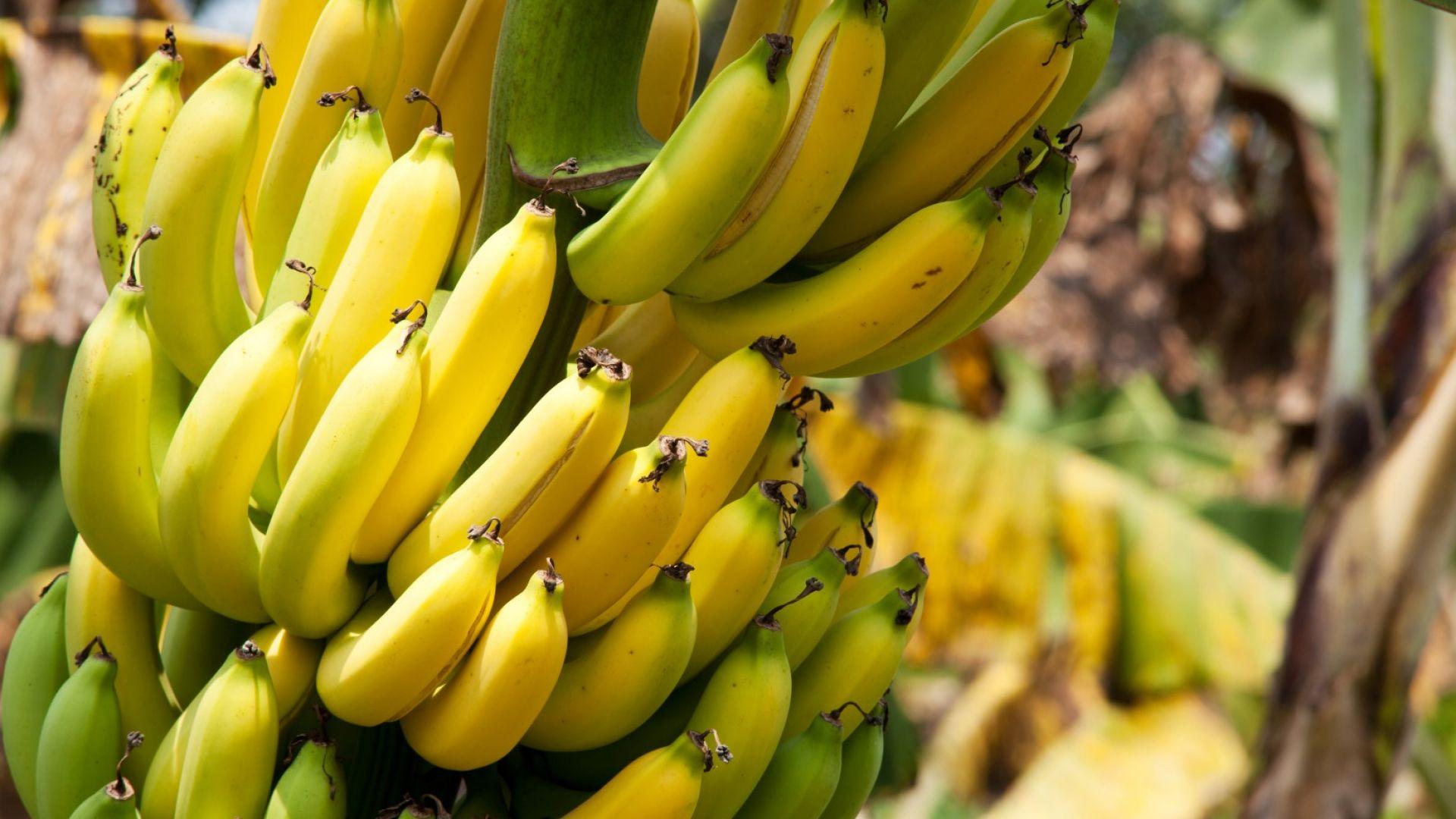 Гъбична инфекция може да срине търговията с банани