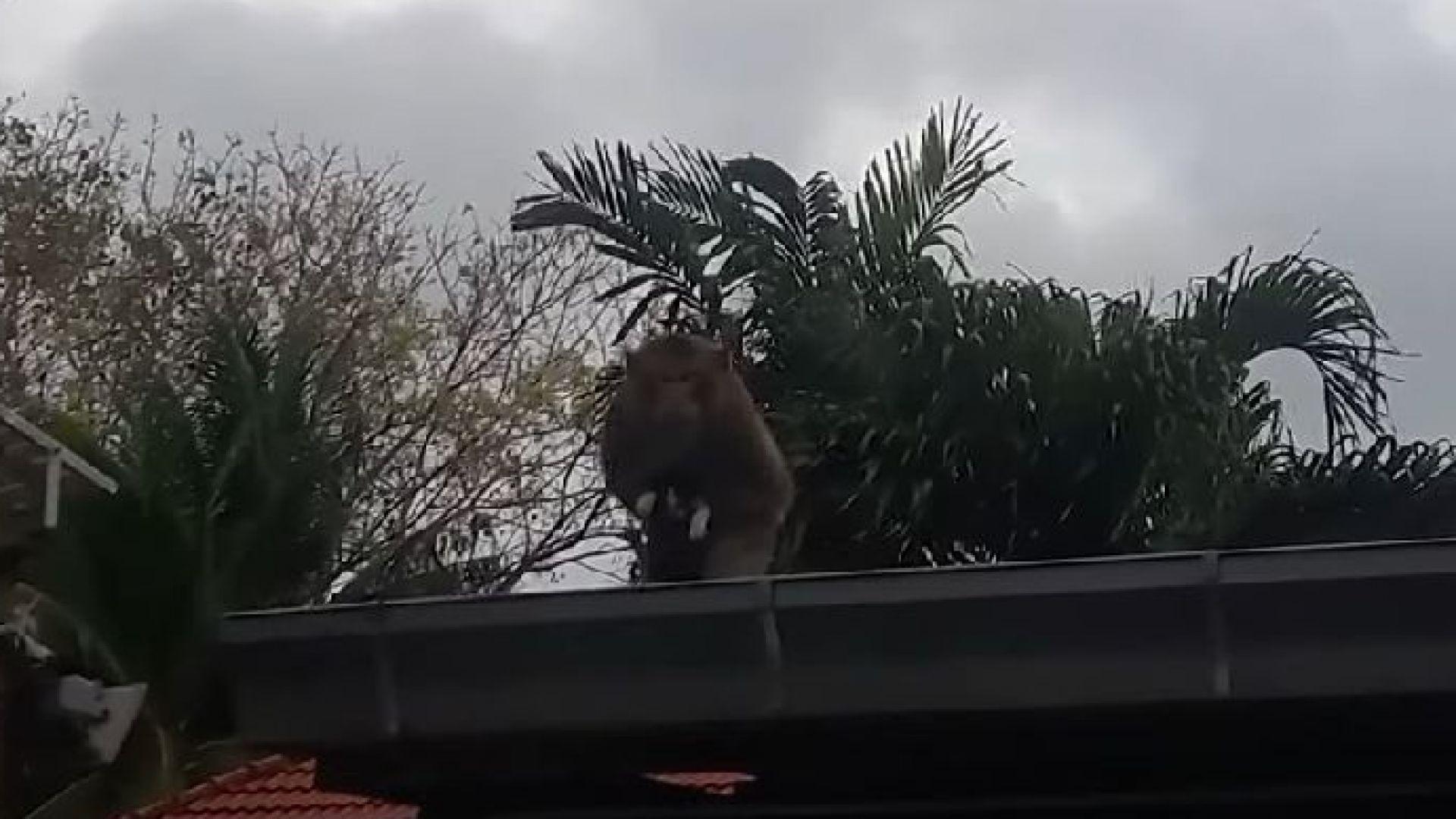 Безмилостна маймуна отвлече коте