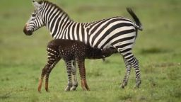 Фотограф засне бебе зебра на точки (видео)