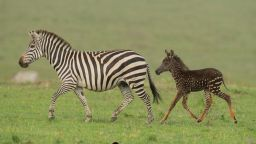Зебра на точки вместо на райета бе заснета в резерват в Кения