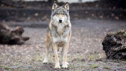 """Ескалира напрежение сред животновъди заради големи щети от вълци в защитена зона """"Сакар"""""""