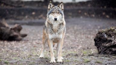 """Ескалира напрежение заради големи щети от вълци в защитена зона """"Сакар"""""""
